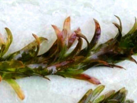 Egeria densa con arrossamento fogliare a causa di una carenza di Zolfo