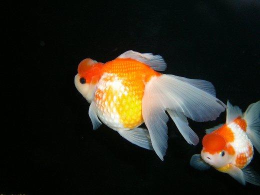 Pesce Rosso hamanishiki