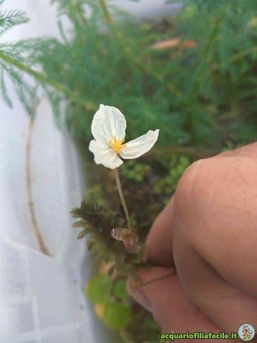 Fiore di Egeria densa