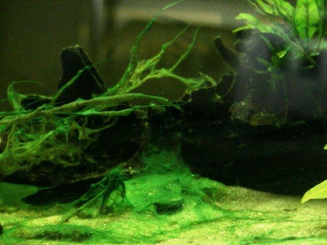 Cianobatteri in acquario