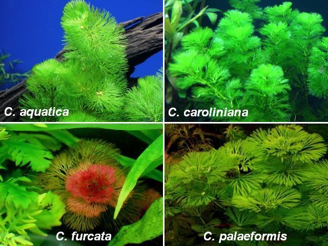 Cabomba aquatica caroliniana furcata palaeformis
