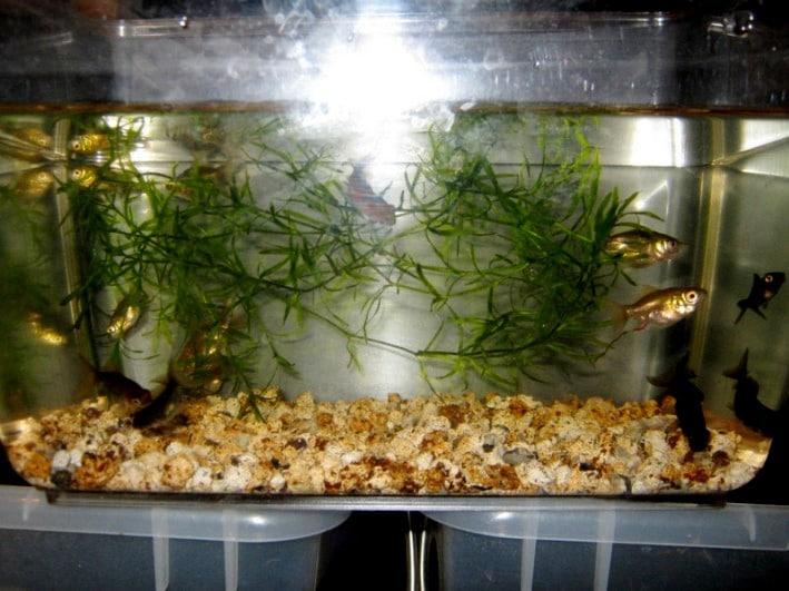 Avannotti di pesce rosso di tre mesi