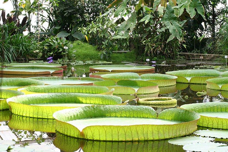 Victoria cruziana, orto botanico di New York